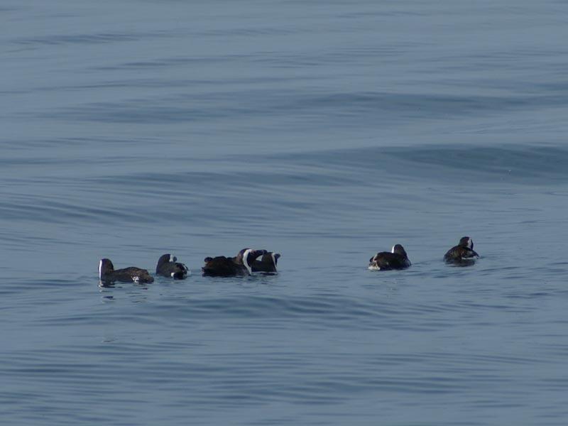 Pinguine_Im_Wasser
